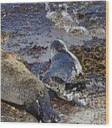 Harbor Seal Nursing Wood Print by George Oze