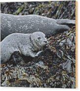 Harbor Seal Pup Resting Wood Print by Suzi Eszterhas