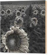 Haunting Sunflower Fields 1 Wood Print by Dave Dilli