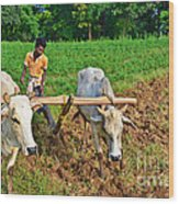Indian Farmer Plowing With Bulls Wood Print by Image World