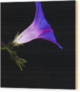 Ipomoea Morning Glory Wood Print by Tim Gainey