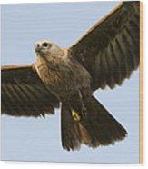 Juvenile Brahminy Kite Wood Print by Tim Gainey