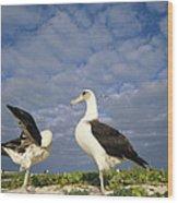Laysan Albatross Courtship Dance Hawaii Wood Print by Tui De Roy