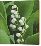 Lily-of-the-valley  Wood Print by Elena Elisseeva