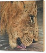 Lion Drinking Wood Print by David Stribbling