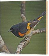 Male American Redstart Wood Print by Neil Bowman