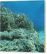 Marine Plants Wood Print by Science Photo Library