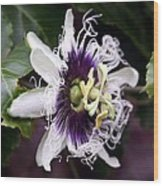 Pasionfruit Flower Wood Print by Jeffrey Lee