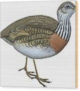 Plains Wanderer  Wood Print by Anonymous