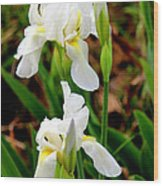 Purity In Pairs Wood Print by Kathy  White