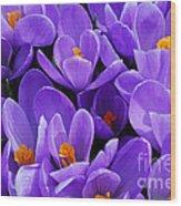Purple Crocus Wood Print by Elena Elisseeva