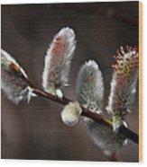 Pussy Willows Wood Print by John Haldane
