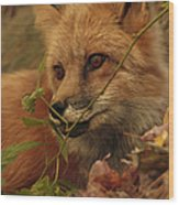 Red Fox In Autumn Leaves Stalking Prey Wood Print by Inspired Nature Photography Fine Art Photography