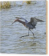Reddish Egret Canopy Feeding Wood Print by Louise Heusinkveld
