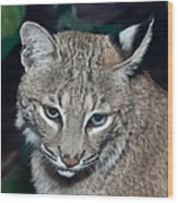 Reflective Bobcat Wood Print by John Haldane