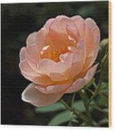 Rose Blush Wood Print by Rona Black