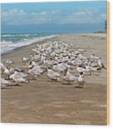 Royal Terns On The Beach Wood Print by Kim Hojnacki