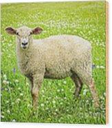 Sheep In Summer Meadow Wood Print by Elena Elisseeva