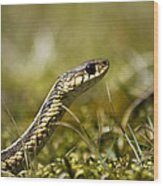 Snake Encounter Close-up Wood Print by Christina Rollo