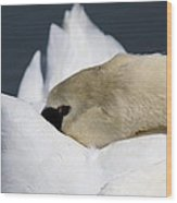 Snoozer - Swan Wood Print by Travis Truelove