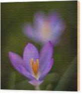 Spring Crocus Glow Wood Print by Mike Reid