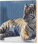 Sumatran Tiger 7d27276 Wood Print by Wingsdomain Art and Photography