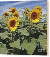 Sunflower Field Wood Print by Kerri Mortenson