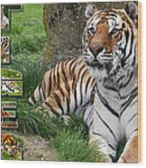 Tiger Poster 1 Wood Print by John Hebb