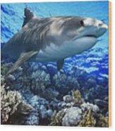 Tiger Shark Galeocerdo Cuvier Wood Print by Owen Bell