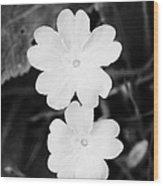 Two Primroses Primula Vulgaris Flower Heads Close Up Wood Print by Joe Fox