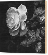White Rose Full Bloom Wood Print by Darryl Dalton