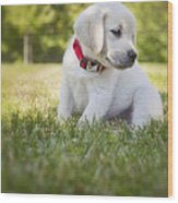 Yellow Lab Puppy In The Grass Wood Print by Diane Diederich