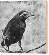 Young Grackle Wood Print by Cassie Peters