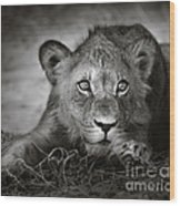 Young Lion Portrait Wood Print by Johan Swanepoel