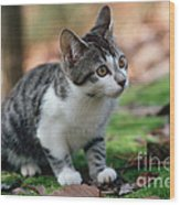 Young Manx Cat Wood Print by James L. Amos