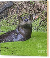 Young River Otter Egan's Creek Greenway Florida Wood Print by Dawna  Moore Photography