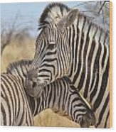 Zebra Bite Of Love Wood Print by Hermanus A Alberts