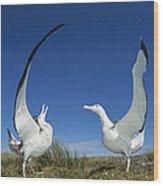 Antipodean Albatross Diomedea Wood Print by Tui De Roy
