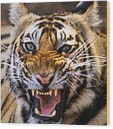 Bengal Tiger (panthera Tigris) Wood Print by Louise Murray