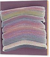 Colonial Diatom, Sem Wood Print by Steve Gschmeissner