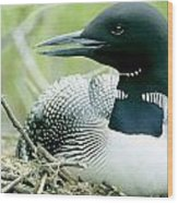 Common Loon, La Mauricie National Park Wood Print by Philippe Henry