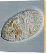 Frontonia Protozoan, Light Micrograph Wood Print by Frank Fox