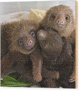 Hoffmanns Two-toed Sloth Choloepus Wood Print by Suzi Eszterhas