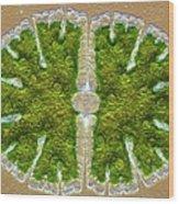 Microsterias Green Alga, Light Micrograph Wood Print by Frank Fox