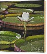 Water Lily Wood Print by Johan Larson