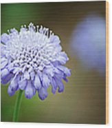 1205-8794 Butterfly Blue Pincushion Flower Wood Print by Randy Forrester