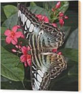 A Blue Clipper Butterfly Feeds Wood Print by George Grall