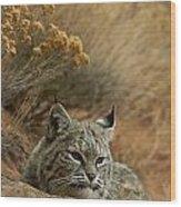 A Bobcat Wood Print by Norbert Rosing