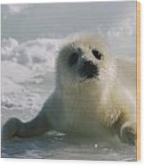 A Juvenile Harp Seal Pagophilus Wood Print by Tom Murphy