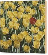 A Single Red Tulip Among Yellow Tulips Wood Print by Ted Spiegel
